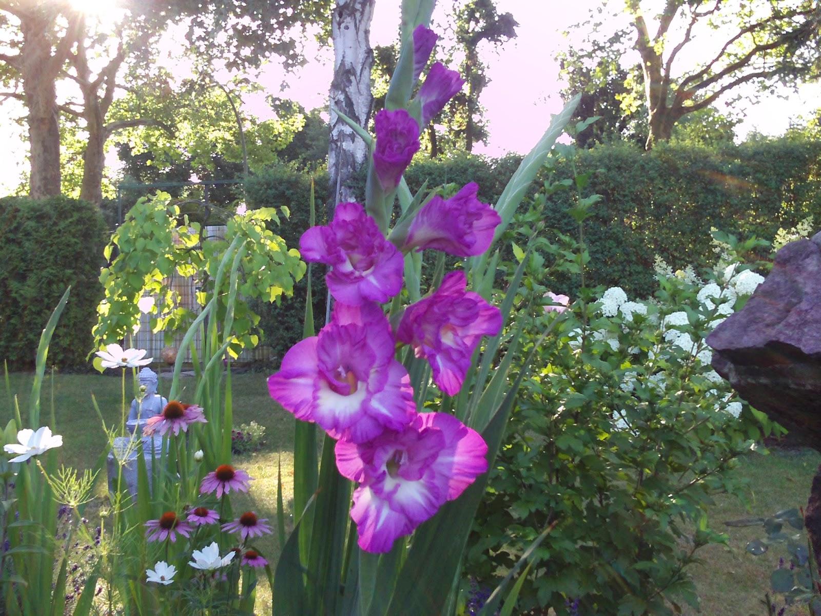 gladiole gladiolus im k bel pflege gartenelfe. Black Bedroom Furniture Sets. Home Design Ideas