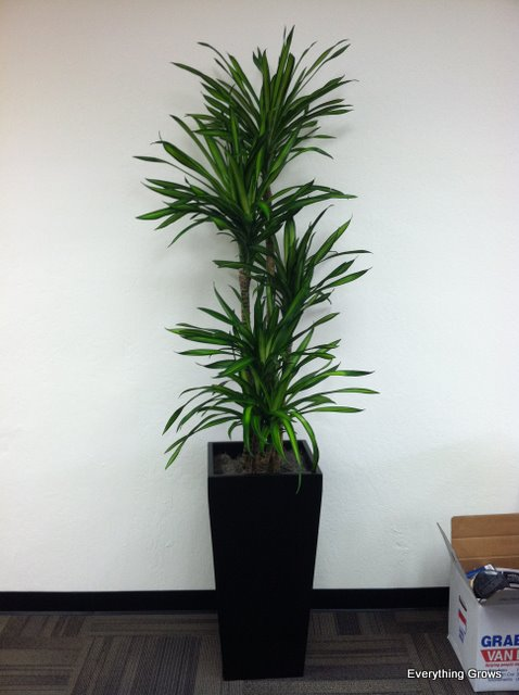 Charming We Like Dracaenas Because They Are One Of The Best Office Plants You Can  Choose. It Is In An Architectural Supplements European Collection Tall  Square:
