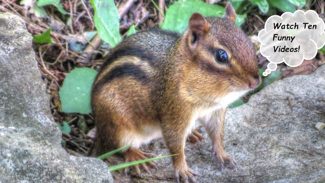 Cute Funny Chipmunk