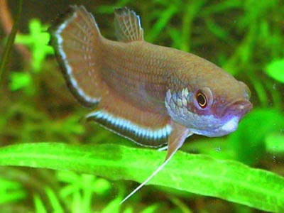Wild Type Betta Fish a Wild Type Betta Fish