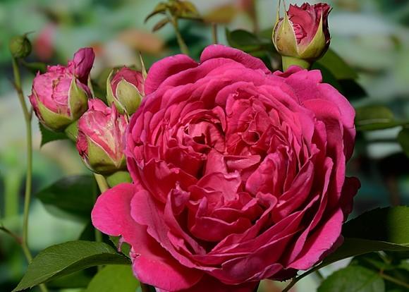 Lady of Megginch rose сорт розы фото Остин