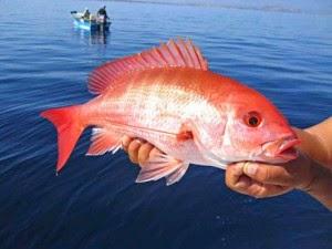 sisik ikan merah