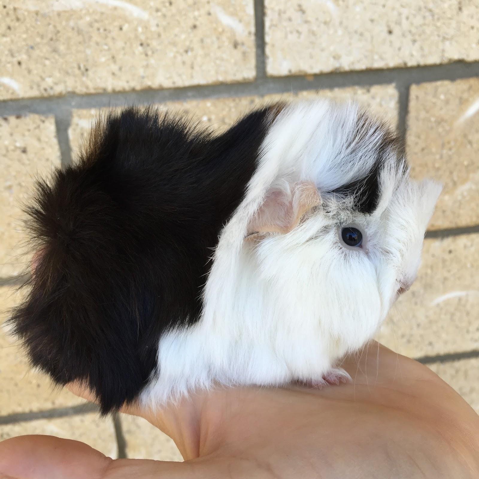 Peruvian guinea pig baby - photo#24