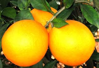 Fresh Fruit Navel Orange