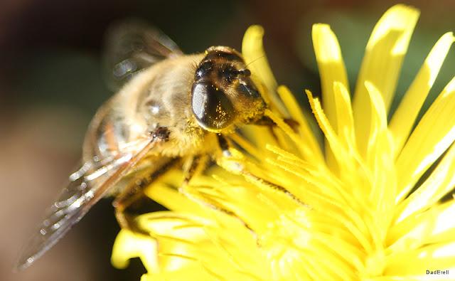 Abeille sur une fleur de pissenlit