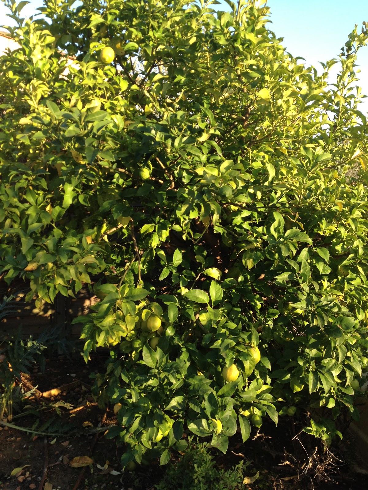 L 39 atelier du jardinage citrons du jardin - Planter hortensia plein soleil ...