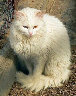 Gambar Kucing Anggora Lucu dan Imut 100015