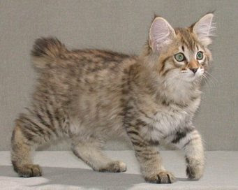 american bobtail longhair cat pictures kittens