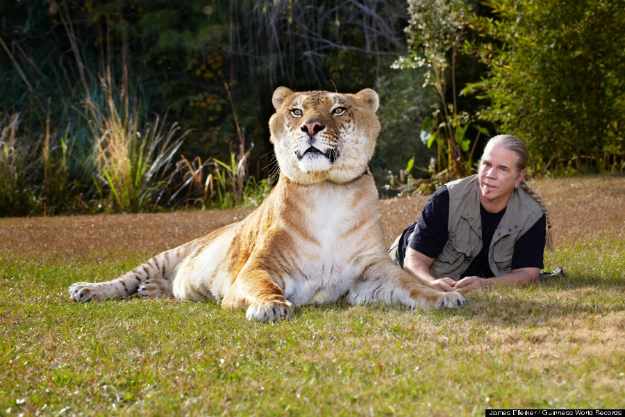 gambar hewan - foto harimau terbesar
