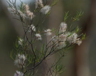 Melaleuca concreta