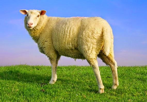 Nhau thai cừu Úc- Cứu tinh cho làn da lão hóa.
