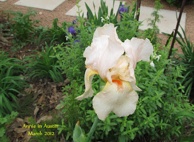 Annieinaustin,first peach iris