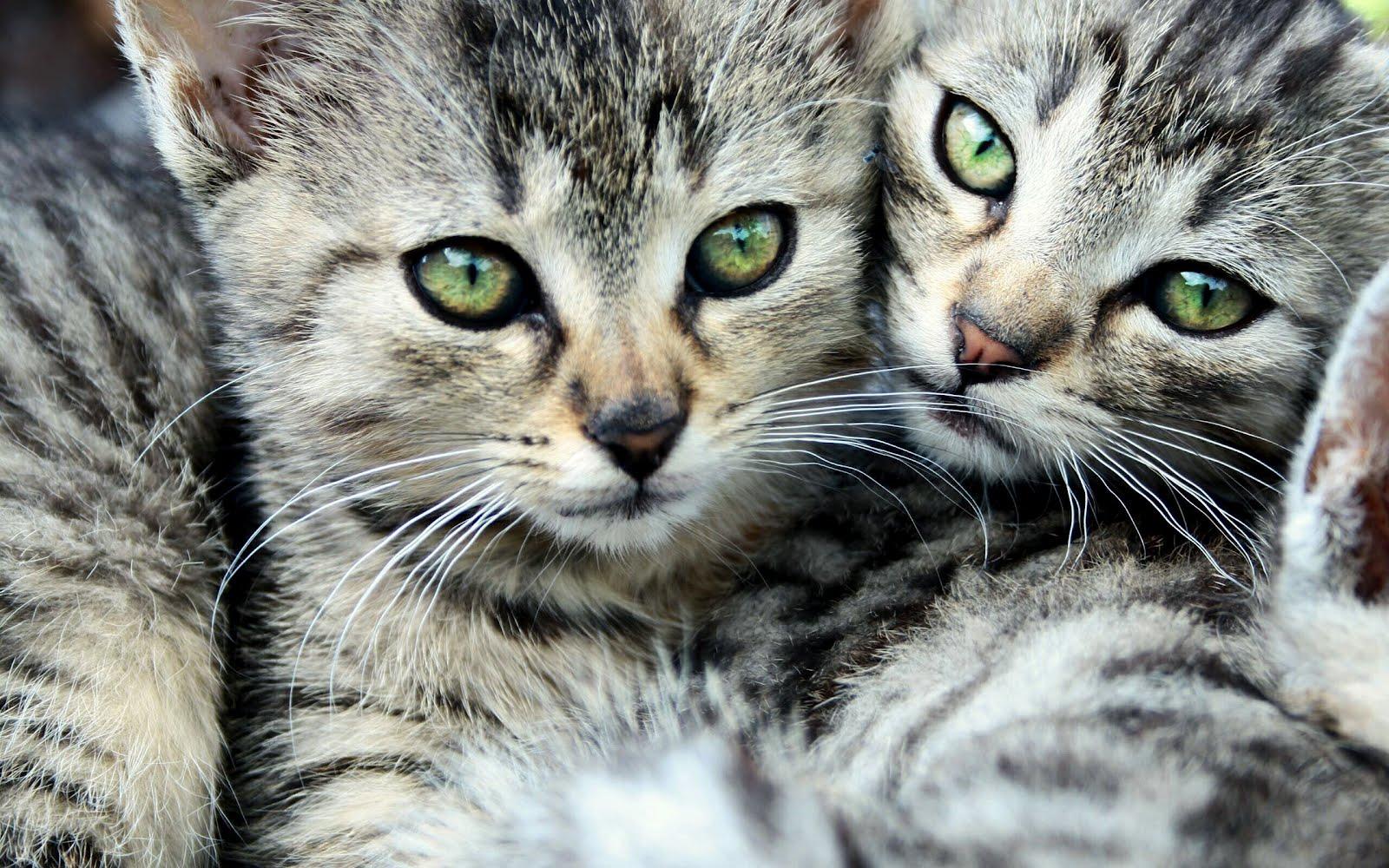 Gatitos muy lindos para el fondo de tu pc o laptop