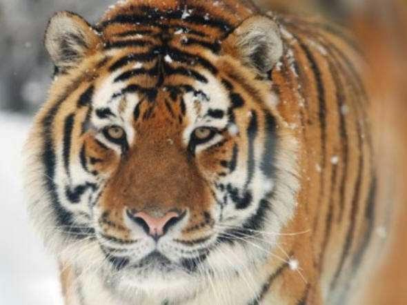 Eles são meio Tigres