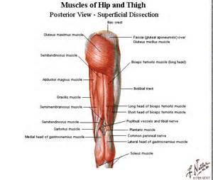 Building Better Athletes: Anatomy Lesson: Hip/Pelvis
