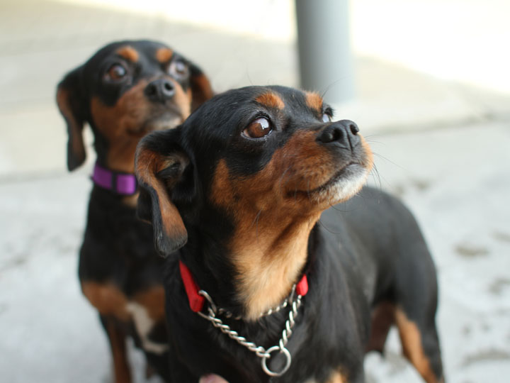 Molly (and her sister Maxine) - Miniature Pinscher mix