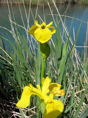 Lliri groc (Iris pseudacorus)