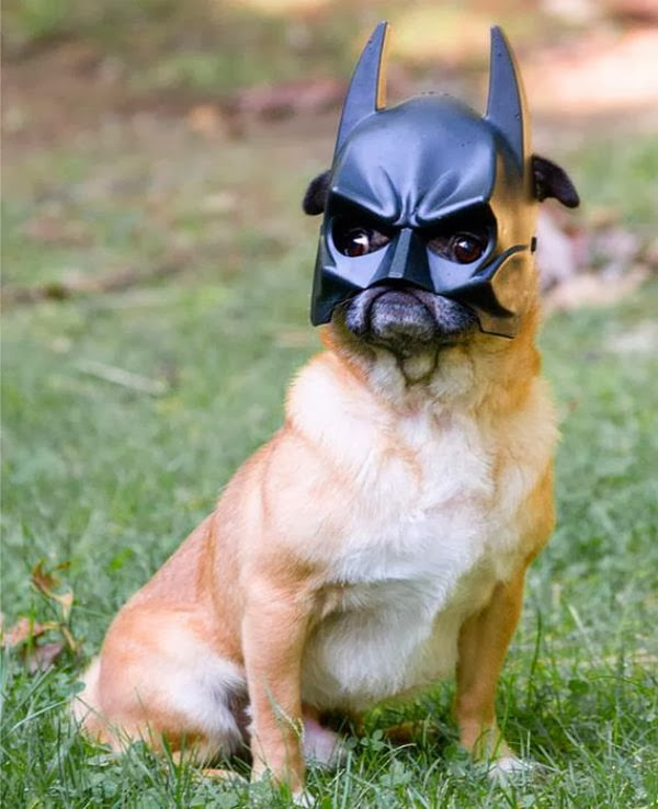 funny dog wearing batman mask