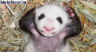 Bayi Panda Berpose Seperti PM Inggris