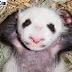 Ini Dia Bayi Panda Berpose Seperti PM Inggris
