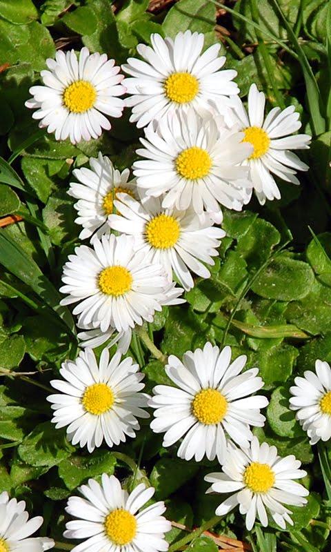 Slike za mobitele: Proljetno cvijeće