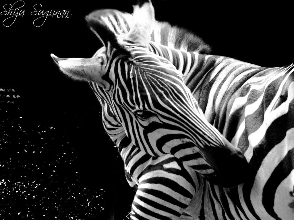 hewan zebra