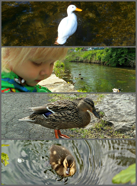 Duck feeding, duckling