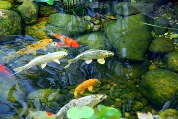 Natural organic solutions from effective environmental for Koi pond algae