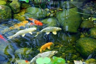 Algae: The Leading Cause of Fish Deaths in Ponds