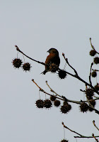 Red Crossbill on Sweetgum
