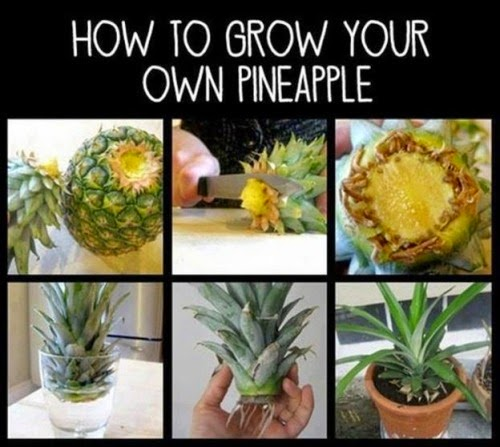 how to grow your own pineapple plant organic gardening my favorite things. Black Bedroom Furniture Sets. Home Design Ideas
