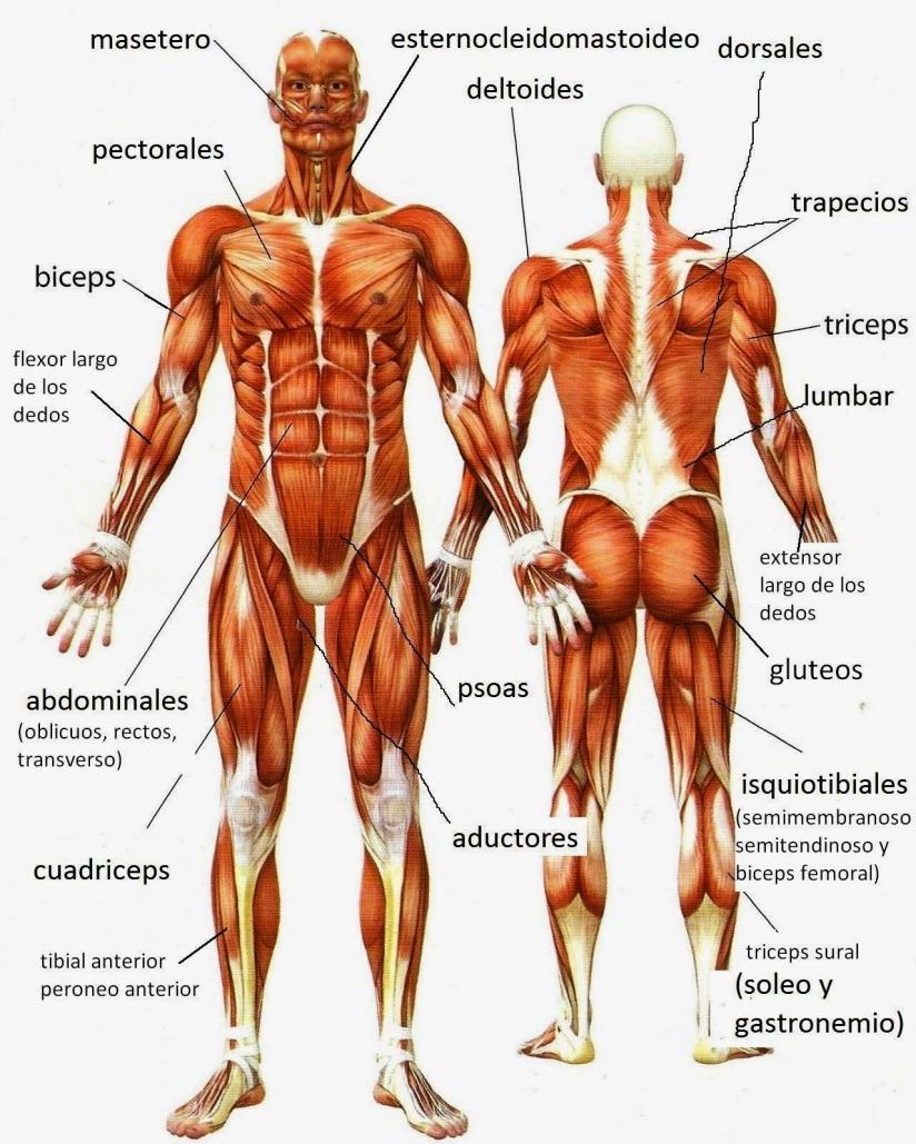 Aparatos y Sistemas del Cuerpo Humano: SISTEMAS: - Muscular, Oseo ...