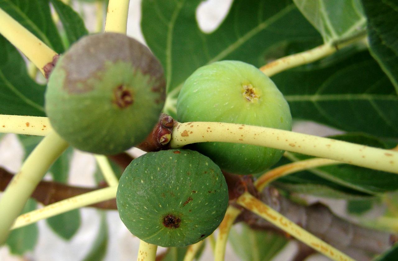 Σύκο: Το πολύτιμο για την υγεία μας φρούτο του Αυγούστου