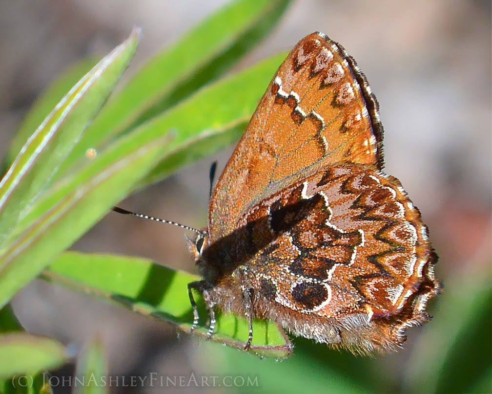 Western pine elfin butterfly (c) John Ashley