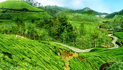 tea plantation, perkebunan teh, visitor spots in munnar, honeymoon place, india