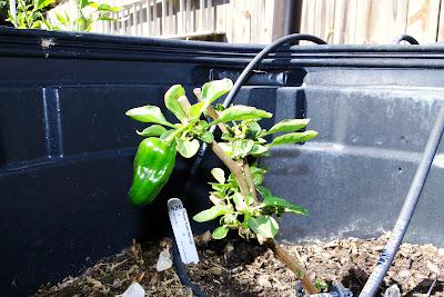 Sweet Heat Peppers, 2013 Alejandro Farm