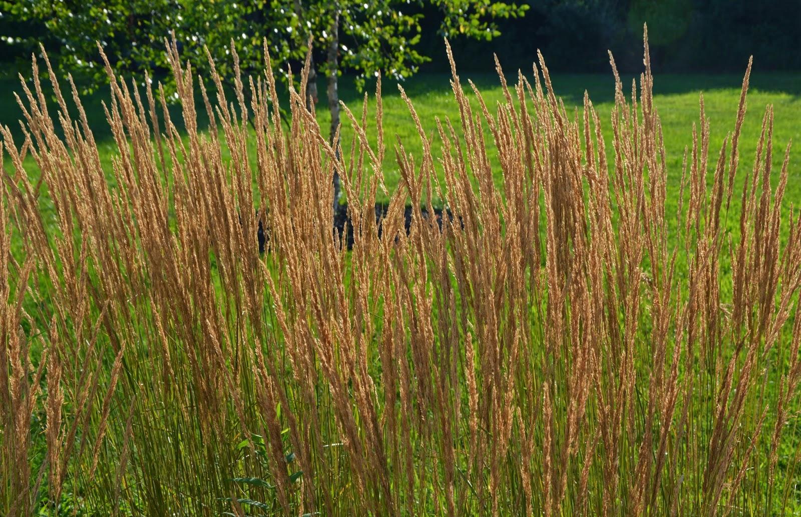 Some ornamental grass reviews an obsessive neurotic gardener for Ornamental grasses for sun