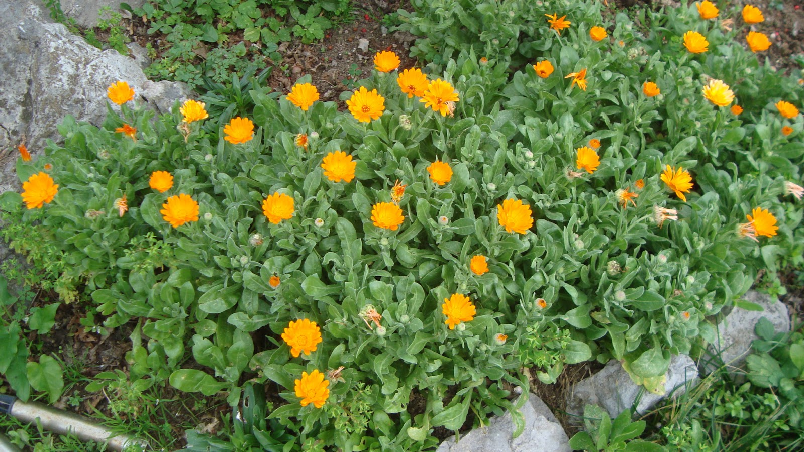 Floresamatxo todo sobre las flores consejos para cuidar - Plantas para arriates ...
