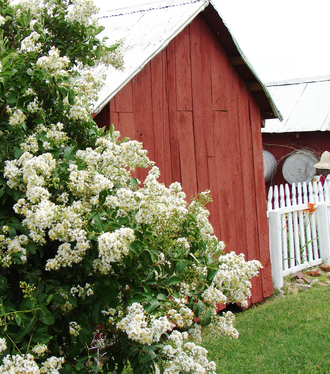 The Country Farm Home The White Crepe Myrtle
