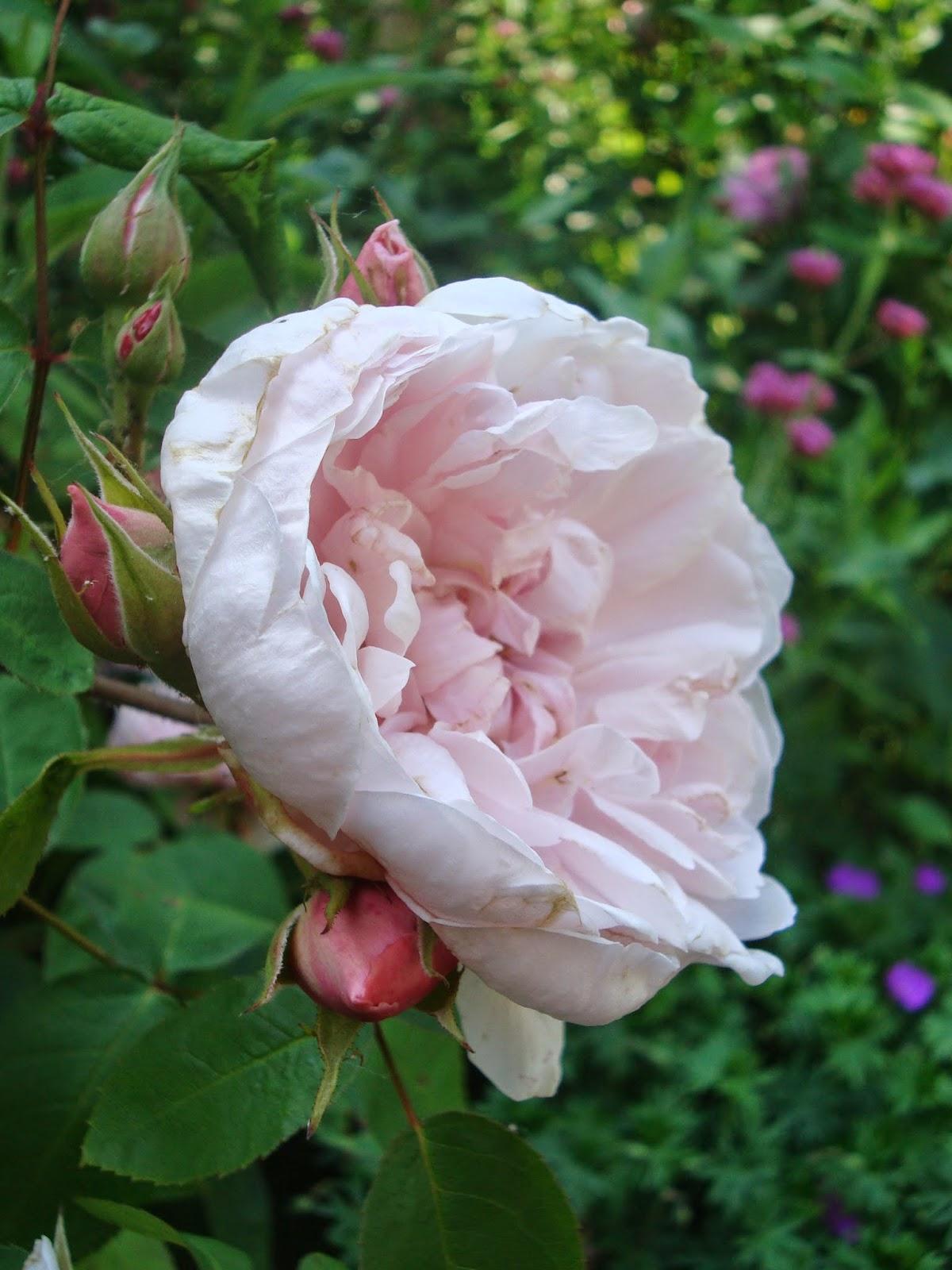 Passionn ment jardin tableau d 39 ambiance mai - Deplacer un rosier ...