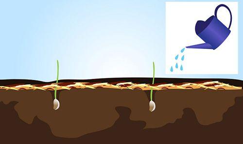 Cách trồng tỏi tại nhà 4