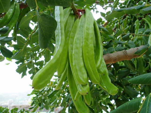 frutos-de-algarrobo-ceratonia-siliqua
