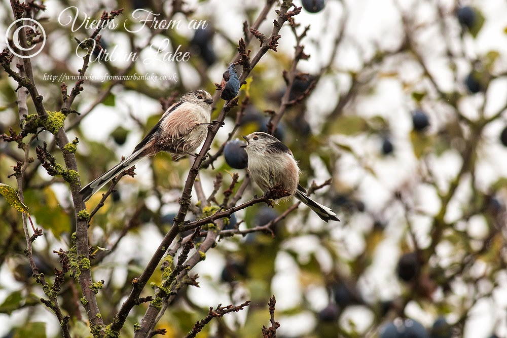Two Long-Tailed Tits - Manor Farm, Milton Keynes