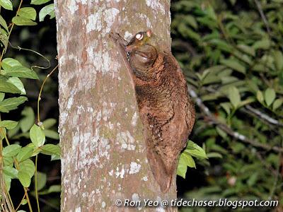 Malayan Colugos (Cynocephalus variegatus)