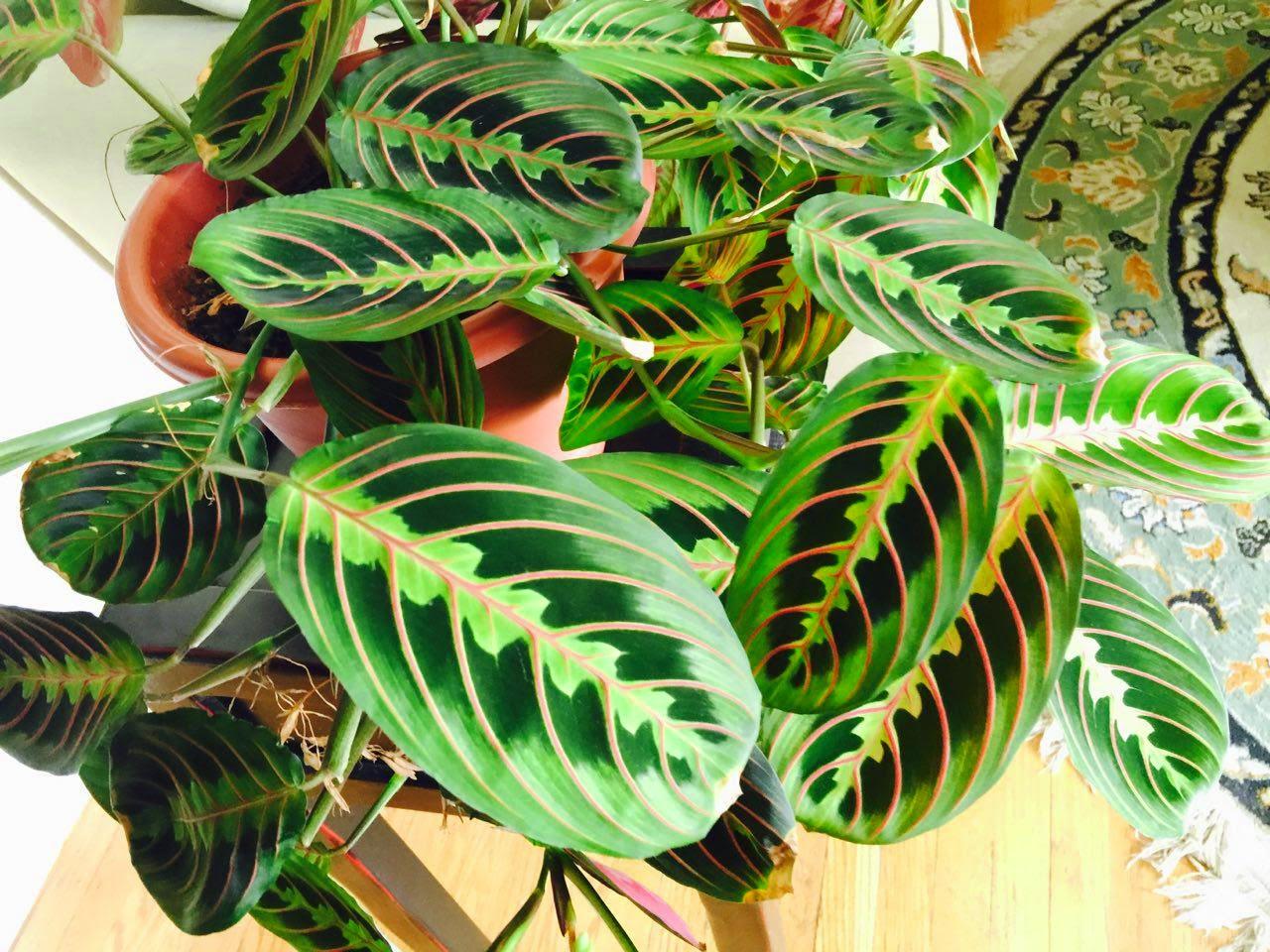 Jardineria plantas y su cuidado prayer plant maranta for Maranta pianta