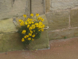 Yellow flowers growing at Whitby Abbey