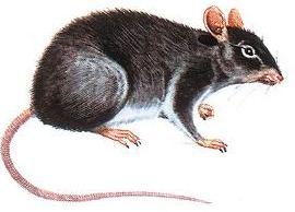 Rata gris (se dice que son las más agresivas y peligrosas)