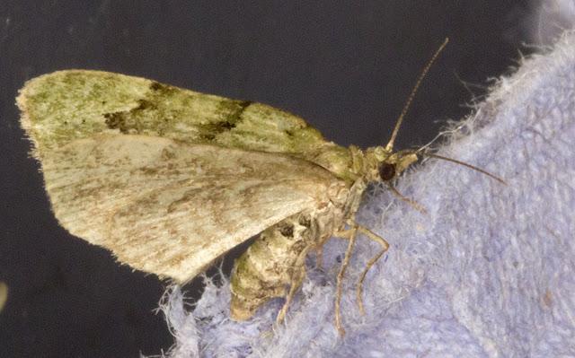 V-Pug, Chloroclystis v-ata.  Keston Common moth trap, 2 July 2011.