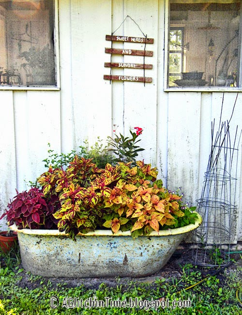 Tub of Coleus