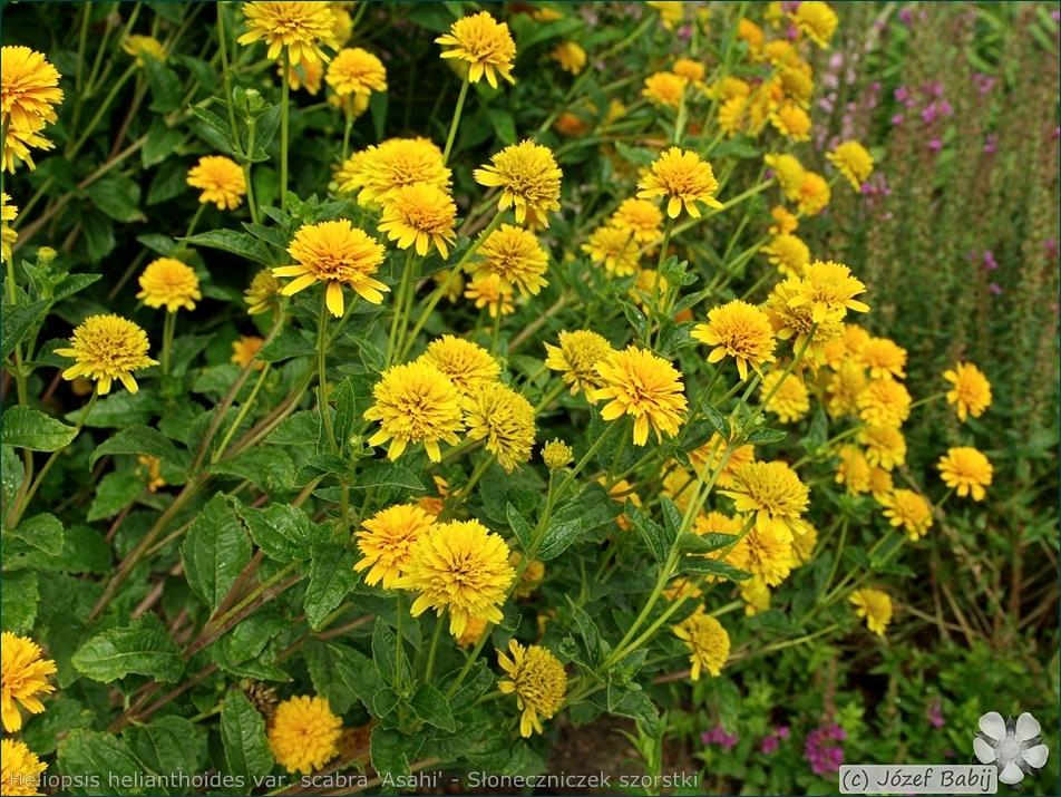 Heliopsis helianthoides var. scabra 'Asahi' - Słoneczniczek szorstki 'Asahi' kwiaty